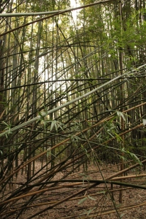 Bamboo forest (?)